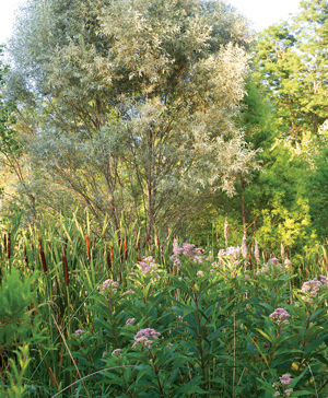 Cattails, Eupatorium, and willow