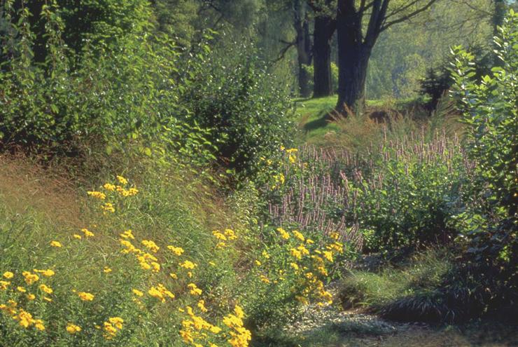 Fall haze, Chrysopsis mariana 'Golden Sunshine'