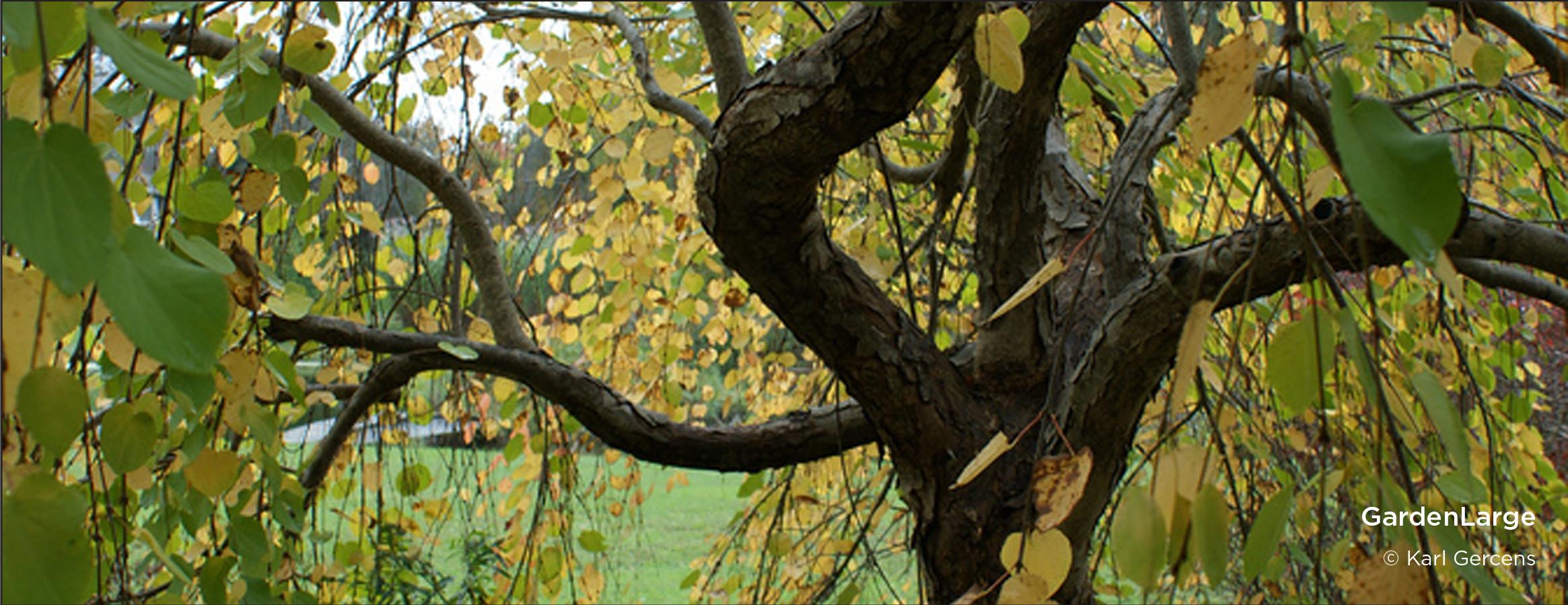 11-Gercens-Katusuranoarrow