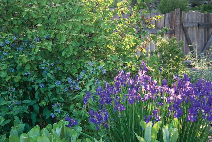 Iris sibirica and Symphytum grandiflorum 'Hidcote Blue'