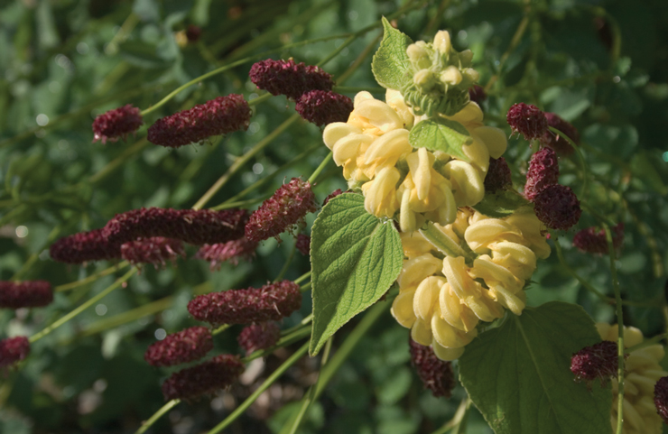 Phlomis russeliana and Sanguisorba tenuifolia 'Atropurpurea' in the Brine Garden