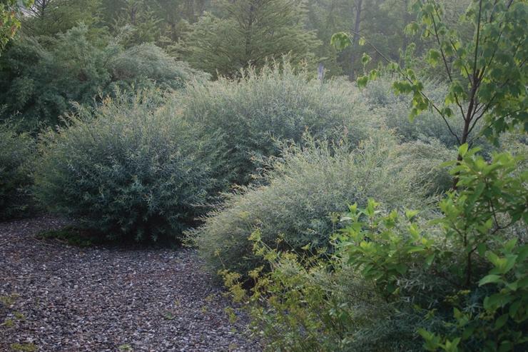 Salix purpurea 'Nana', dwarf arctic willow