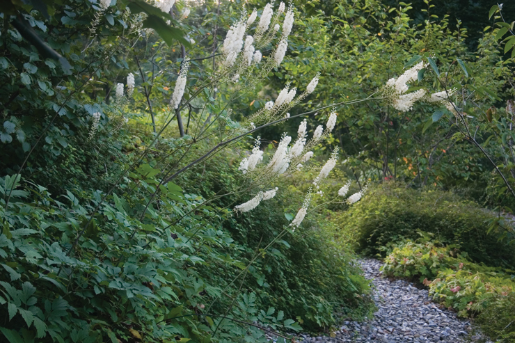 Actaea racemosa and Stephanandra incisa 'Crispa'in the Brine Garden