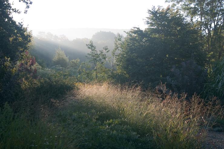 Panicum virgatum, native switchgrass