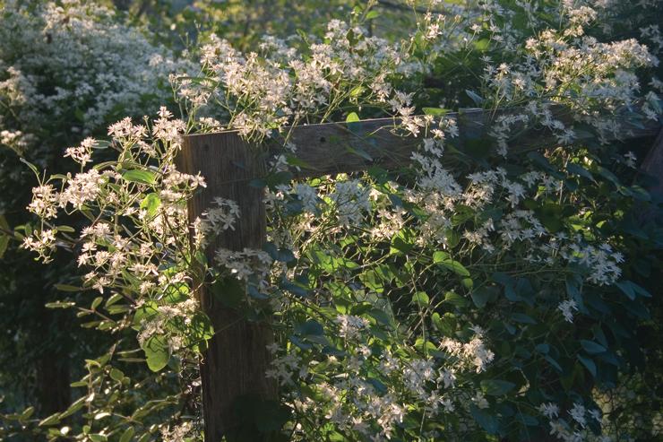 Clematis terniflora, Sweet Autumn Clematis, in the Brine Garden