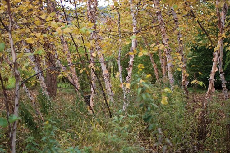 Betula nigra 'Heritage' in the Brine Garden