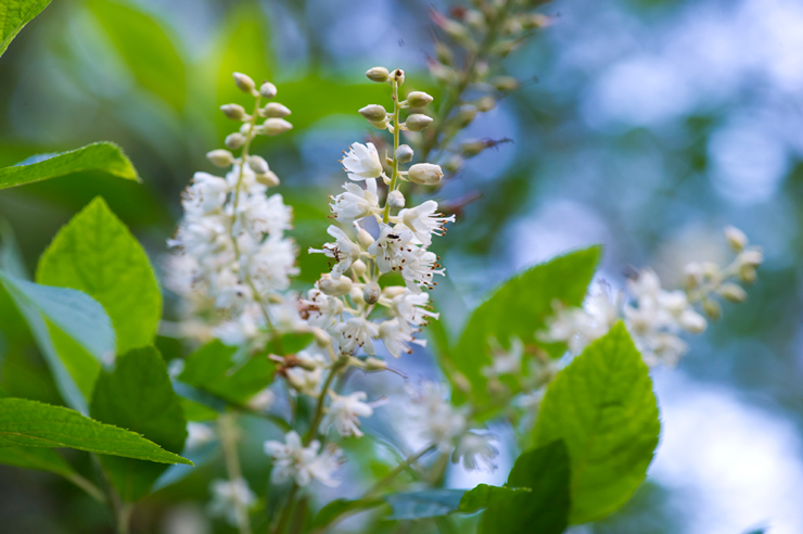 Close up of Clethra bloom in the Brine Garden by Rob Cardillo.