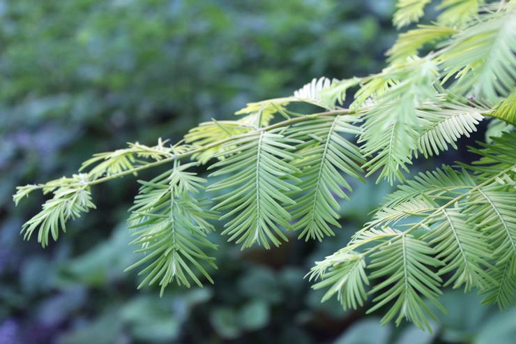 Metasequoia 'Ogon'